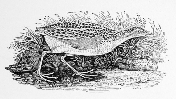 Land Rail, Thomas Bewick (photo credit: Wikipedia_
