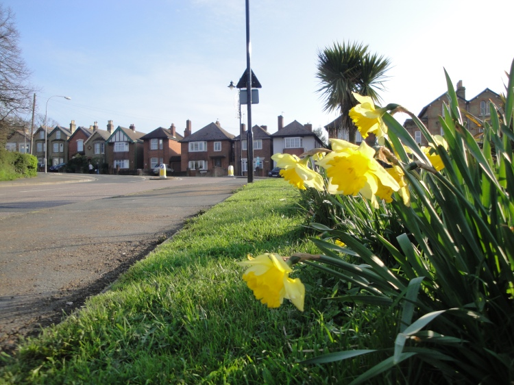 Daffodils at East Cowes Well Road (Photo credit: Wikipedia)